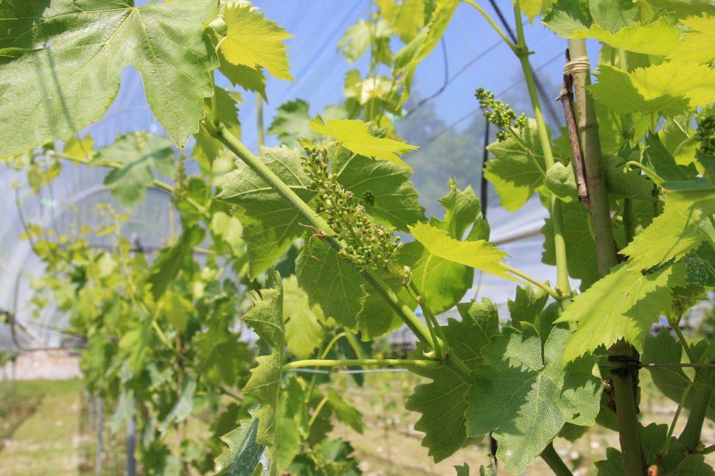 赤ワイン用サンジョベーゼ花芽