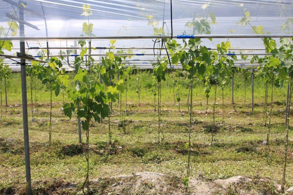 赤ワイン用サンジョベーゼとネッビオーロの畑