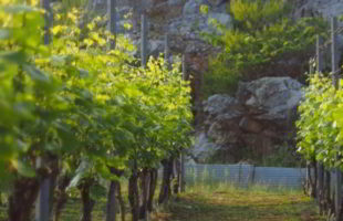 白ワイン「HAKUBI」シャルドネ畑